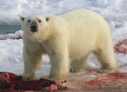 animales en peligro de extinción oso polar