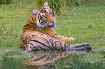 animales en peligro de extinción tigre