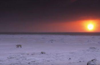 informacion sobre oso polar en peligro de extinción
