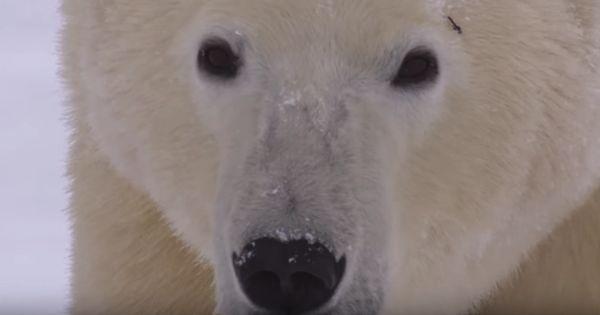 el oso polar en peligro de extinción wikipedia