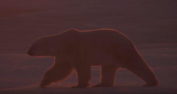 imagenes del oso polar en peligro de extinción