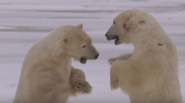 caracteristicas del oso polar en peligro de extinción