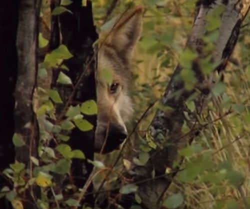 informacion sobre el lobo gris mexicano en peligro de extinción