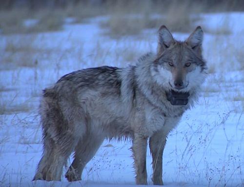 por que el lobo gris mexicano en peligro de extinción