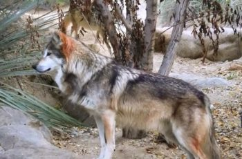 lobo gris mexicano en peligro de extinción habitat