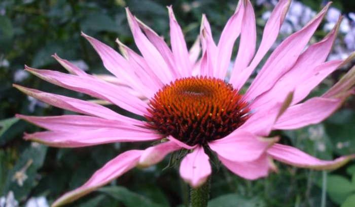 antibióticos naturales echinacea