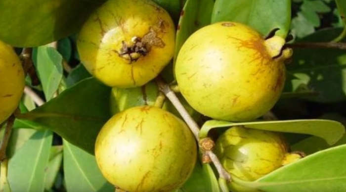 remedios caseros para la muela hojas de guayaba